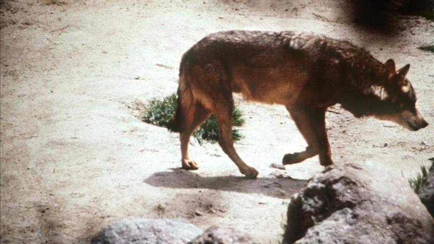 Todos los sectores alcanzan un consenso para conservar el lobo en Cantabria