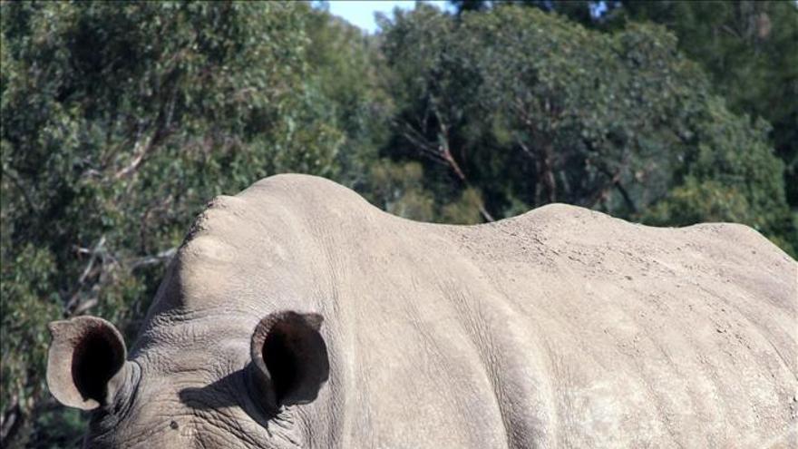 Nace un rinoceronte blanco en un zoológico de Australia
