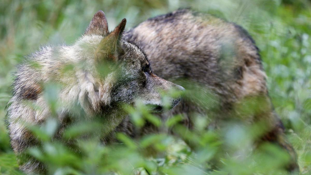 Un lobo en las instalaciones del centro de interpretación del lobo de Belmonte (Asturias). EFE/ J.L. Cereijido/Archivo