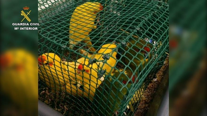 La Guardia Civil detecta más de 60 aves ocultas en dos maletas de un pasajero en el aeropuerto Tenerife Norte