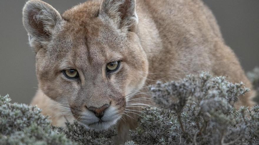 'Wild Pumas of Patagonia', serie ganadora del tercer premio en la categoría 'Naturaleza'. Recorre la región Torres del Paine en la Patagonia chilena, la cual contiene concentraciones más altas de pumas que en cualquier otra parte del mundo.