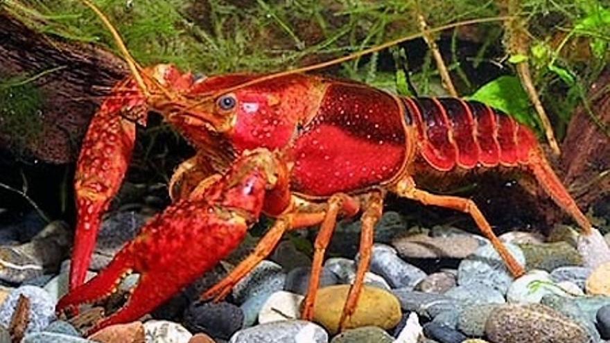 Logran bioplásticos a partir del cangrejo rojo del Guadalquivir con propiedades mecánicas óptimas
