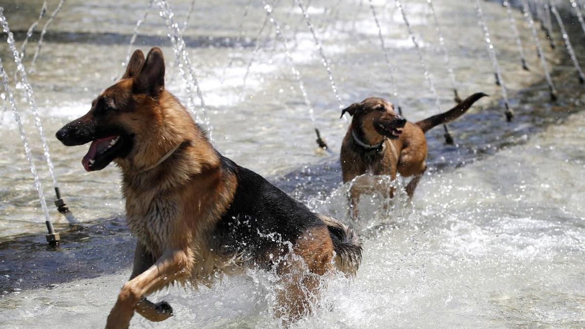 Perros refrescándose en una fuente