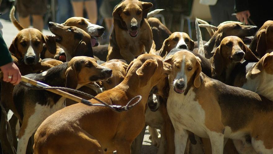 Jauría de perros de caza.