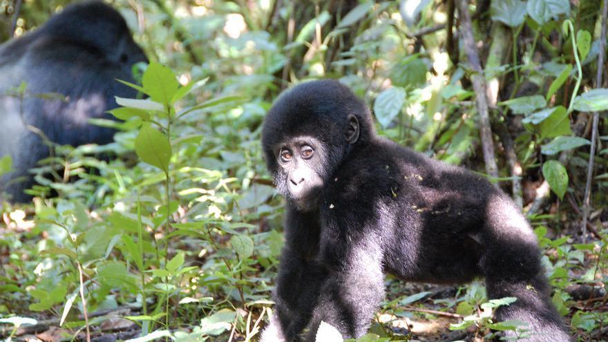 Bebé gorila en Bwindi. En los últimos años, la población se ha recuperado de manera espectacular. Noel Reynolds (CC)