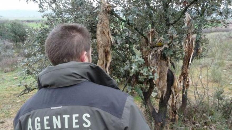 Zorros colgados, encontrados por los Agentes Medioambientales