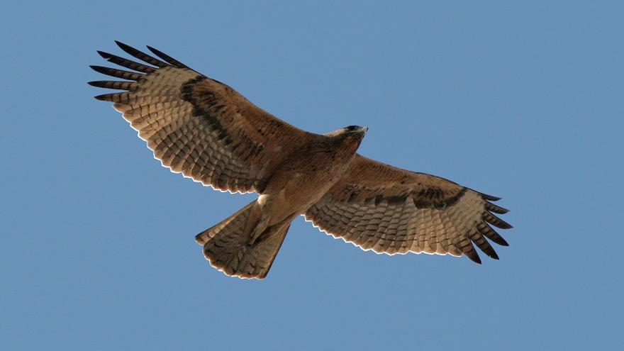 Águila perdicera / SEOBirdlife