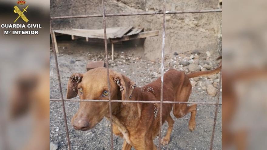 Uno de los animales rescatados, cubierto de garrapatas