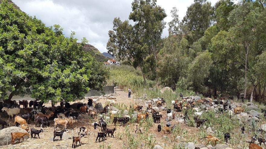 El ganado de los pastores llega a Valsequillo y la cumbre de Gran Canaria para prevenir y controlar incendios