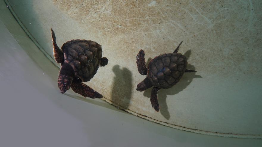 Dos tortugas hermanas se reencuentran en Valencia tras surcar el mar 7 meses