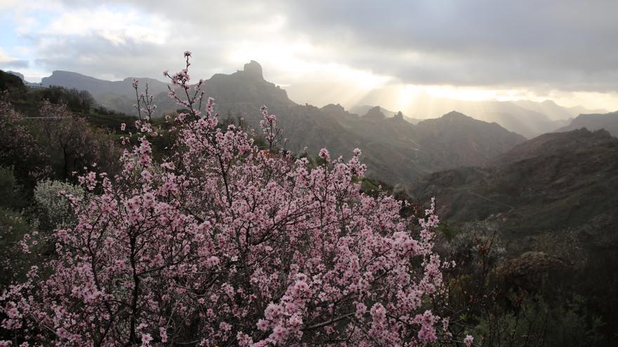 Almendro en flor en el Roque Bentayga.