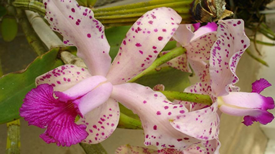 Orquídea del orquideario de Soroa.