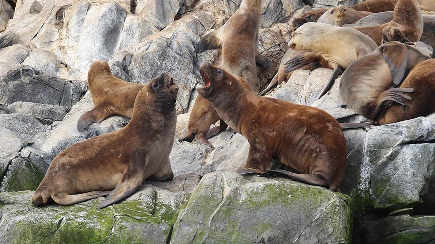Leones marinos, Ushuaia, Patagonia, Argentina