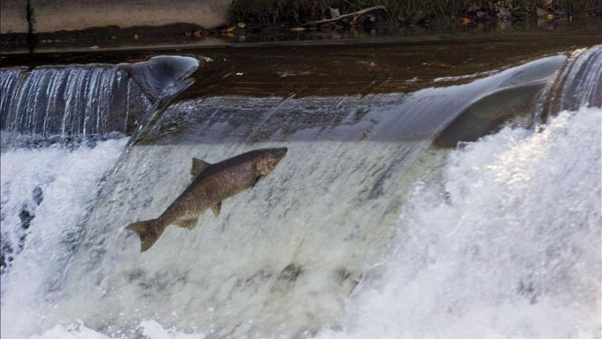 Un suplemento cerebral podría aumentar la captura del salmón, según estudio