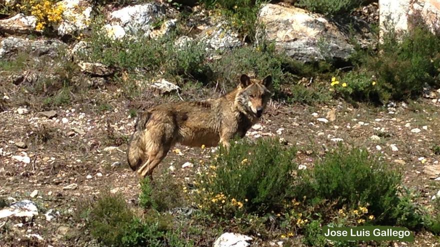 Lobo en la Sierra de la Culebra, en la provincia de Zamora.