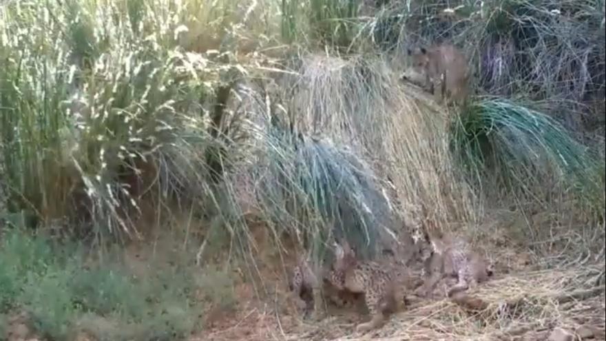 La lince 'Pizarra' y su primera camada de cinco cachorros en la Sierra Morena Oriental