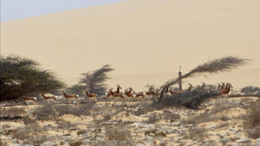 Las gacelas Mohor regresan a su casa en el Sáhara