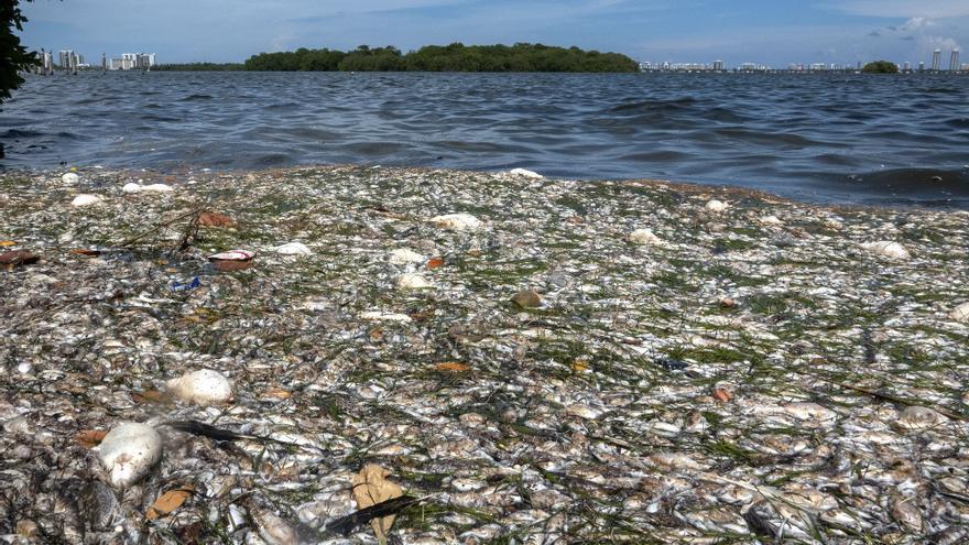 ONG pide recoger los peces muertos en la bahía de Miami para evitar una mayor contaminación