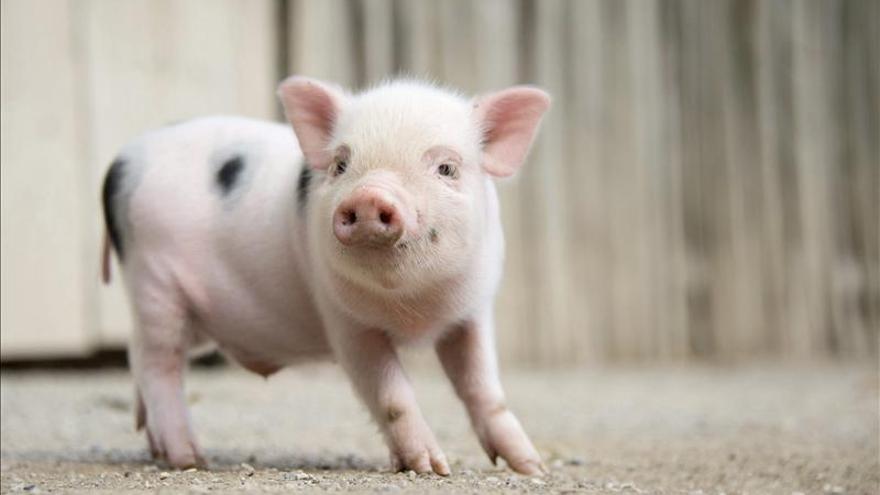 El cerdo vietnamita podría acabar con el jabalí autóctono en menos de 20 años