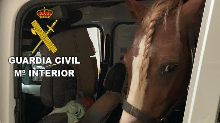 Imagen del poni trasladado de Huelva a Lanzarote sin ningún tipo de protección sanitaria y sin medidas de seguridad.