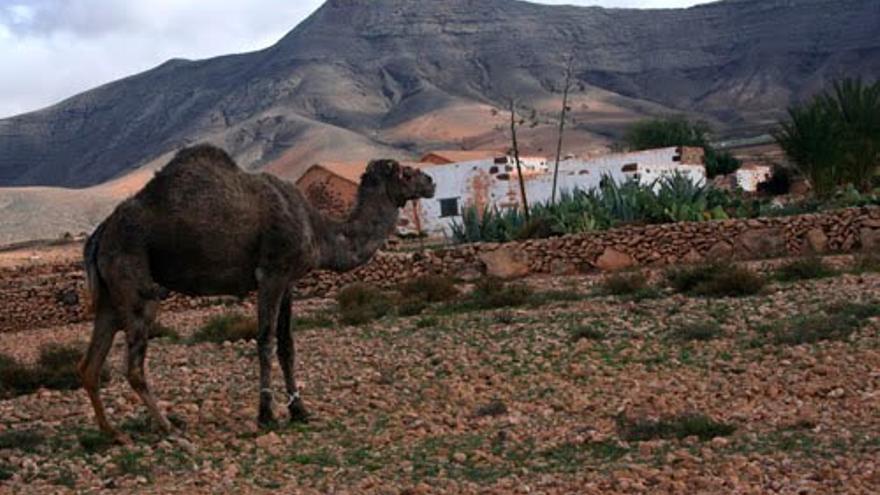 Los camellos son una imagen habitual de los campos majoreros. En el Ecomuseo de La Alcogida hay varios de estos animales.