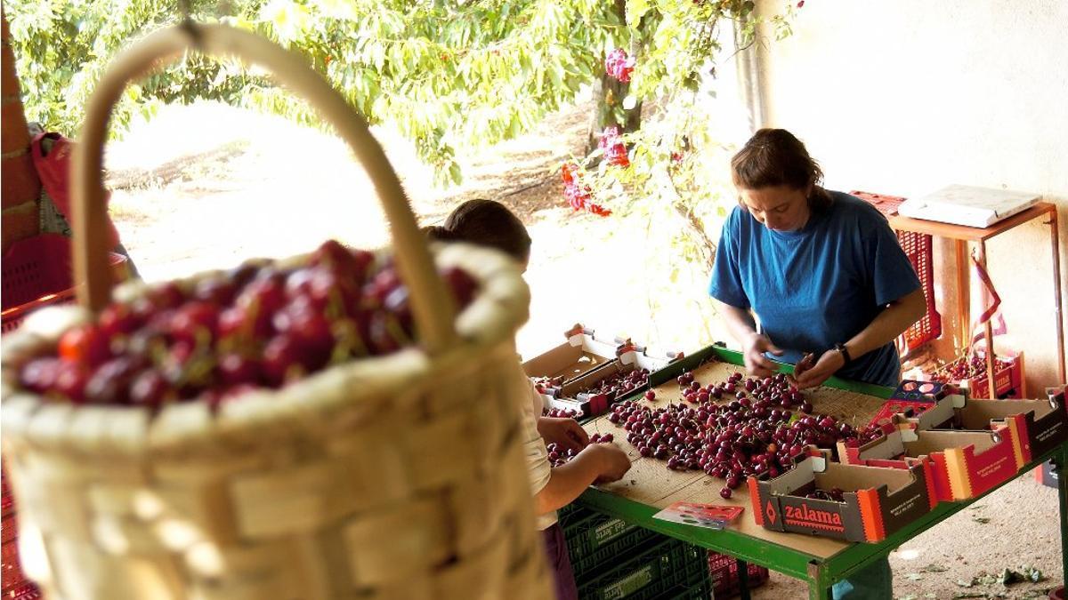 Cabezuela del Valle y Navaconcejo han advertido de casos positivos entre las cuadrillas de temporeros