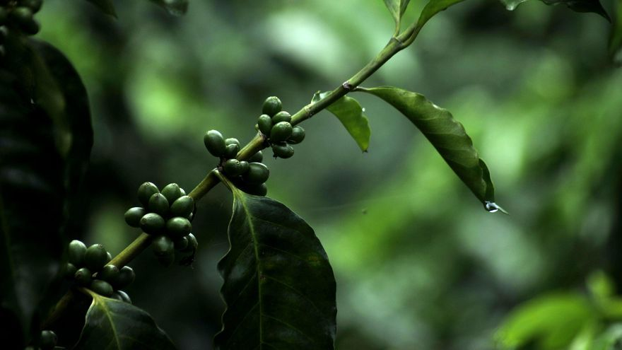 """Fotografía de una mata de café resistente a la roya, el 31 de julio de 2014, en la aldea El Tesoro, del municipio Camotán (Guatemala). En una finca llamada """"Majadas del Tesoro"""", 238 kilómetros al este de Guatemala, un grupo de cafetaleros le ha dado una nueva esperanza al sector en el país con el descubrimiento de una variante de la planta de café resistente a la roya, un hongo muy destructivo."""
