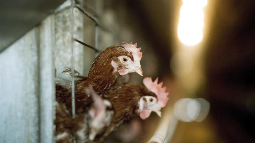 Detectan el primer caso de gripe aviar en una explotación avícola danesa
