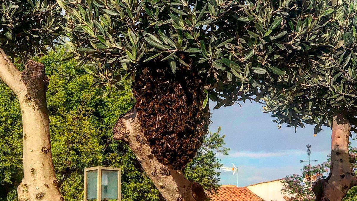Enjambre de abejas que ha aparecido en un árbol junto a la Calahorra.