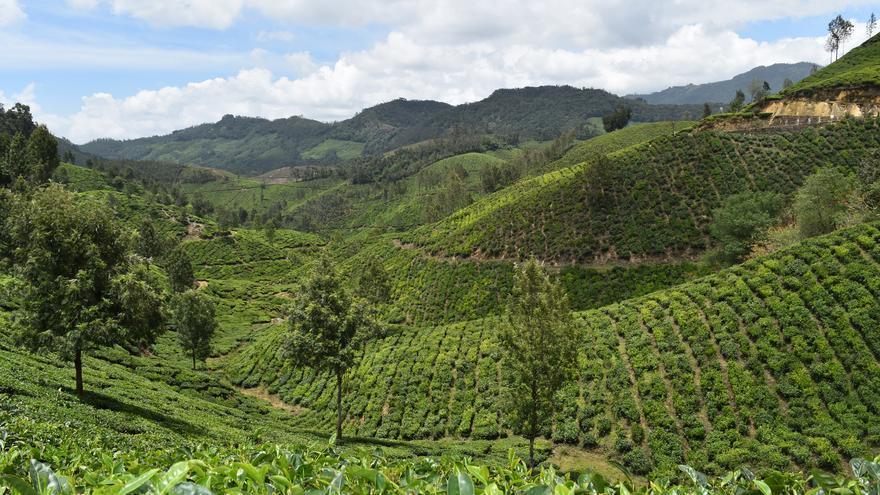 Campos de té en las inmediaciones de Munnar. Dinesh Kumar (CC)