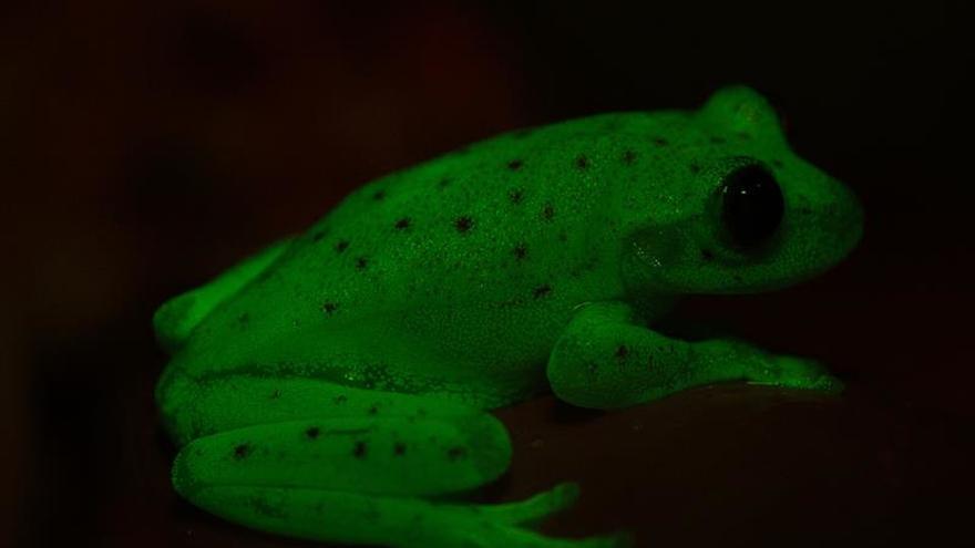 Presentan en Argentina el hallazgo de ranas fluorescentes