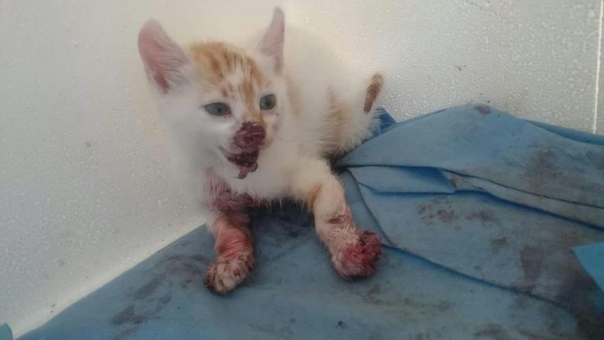 Huellas y Amigat denuncia el maltrato a gatos callejeros en Laredo