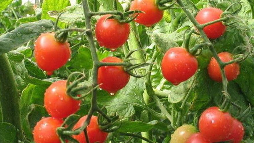 Las exportaciones tomateras del archipiélago han descendido de las 305.000 toneladas a poco más de 42.000 toneladas en los últimos 20 años
