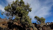 El Cabildo de Tenerife propone a los ayuntamiento una ordenanza para proteger arboledas monumentales