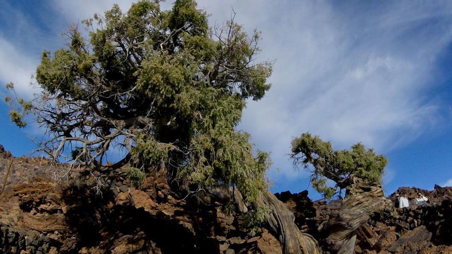 El Cabildo de Tenerife propone a los ayuntamientos una ordenanza para proteger arboledas monumentales
