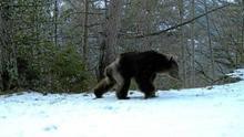 Uno de los osos avistados en el Pirineo aragonés