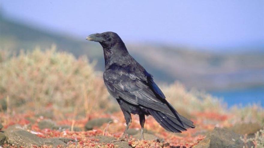 Cuervo canario. Foto. Aurelio Martín