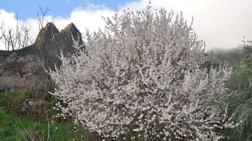 Paisaje con un almendro en flor en Valsequillo