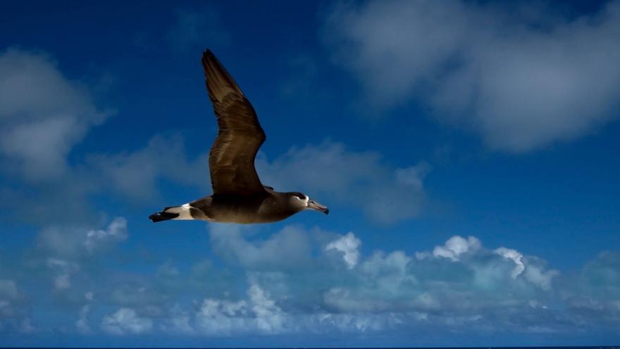 Un albatros sobrevuela las islas del noroeste de Hawai
