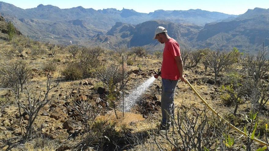 Trabajos de riego en el monte de Arguineguín