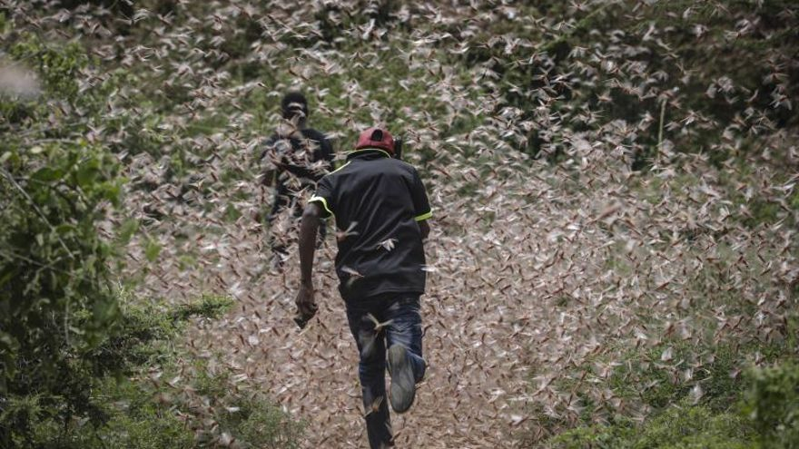 Plaga de langostas en África oriental