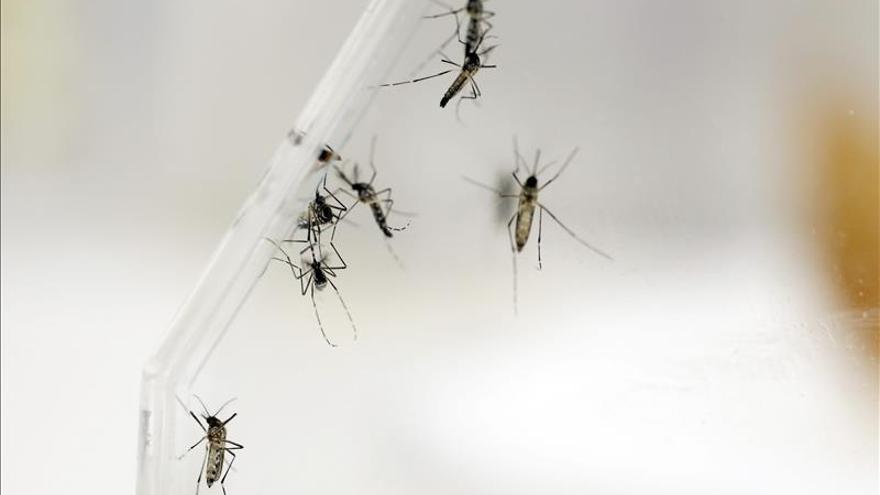 Concluye con efectividad el estudio del uso de mosquitos transgénicos contra el dengue