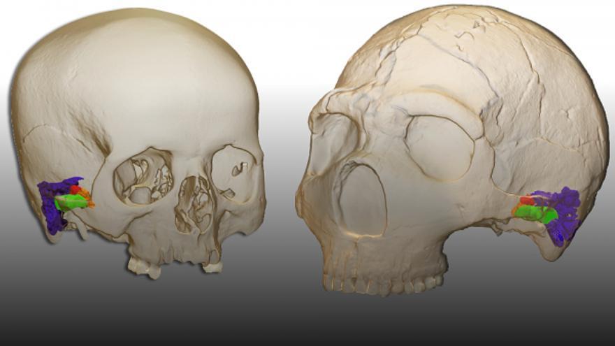 La reconstrucción digital de dos cráneos de Neandertales.