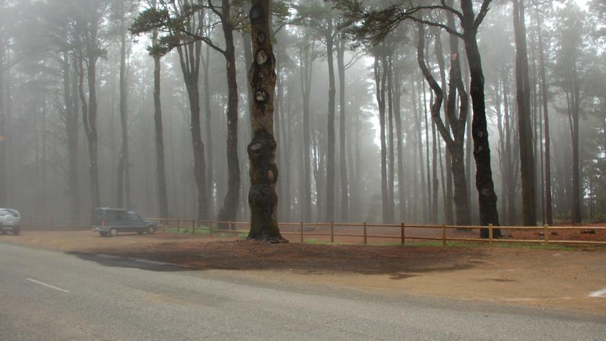 Los pinos de La Palma atrapan la espesa niebla con sus agujas y la dejan caer a la tierra en gotas.