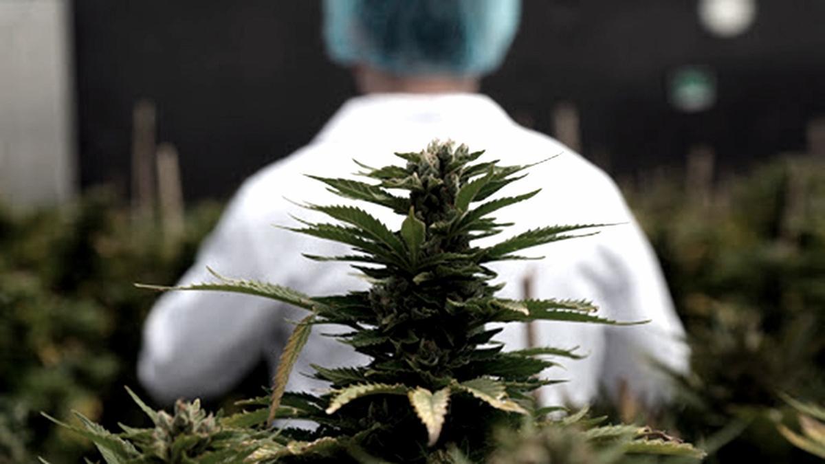 """El curso de posgrado titulado """"Capacitación en prescripción e investigación de Cannabis Medicinal"""" se iniciará en septiembre 2021."""