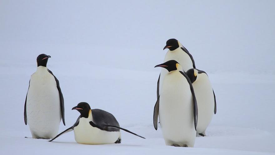 Grupo de pingüinos Emperador.