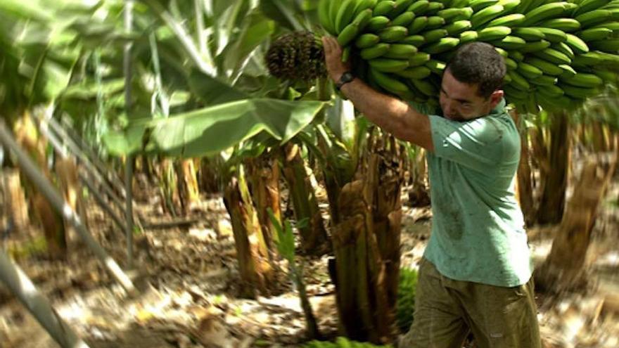 Corte de fruta en una explotación platanera de las islas