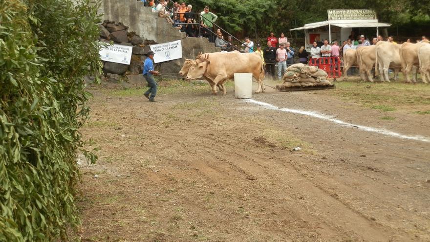 José Ángel Felipe Pais,  con una yunta de 'Toros de Primera Categoría' (los cuales arrastraron 11 sacos unos 1.200 kilos. Foto: Club de Arrastre La Canga.