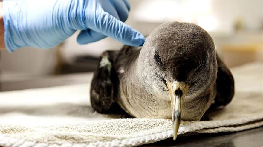 El responsable del Centro de Recuperación de Fauna Silvestre del Cabildo de Gran Canaria, Pacual Calabuig, muestra el sorprendente estado de recuperación en que se encuentra la pardela afectada por el vertido del pesquero Oleg Naydenov. EFE/Ángel Medina G
