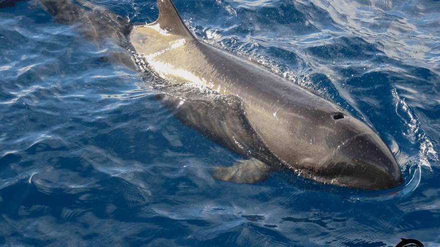 La falsa orca avistada en La Palma.